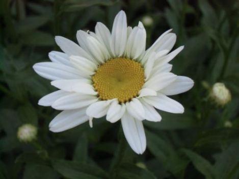 Blog Photo - Flowers for Sister White Daisy